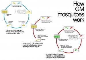 Lifecycle of genetically modified mosquitos.