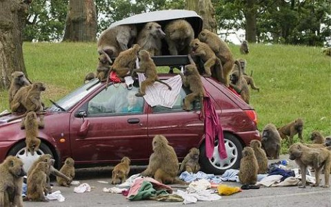 Smart baboons searching for the pertussis vaccine.