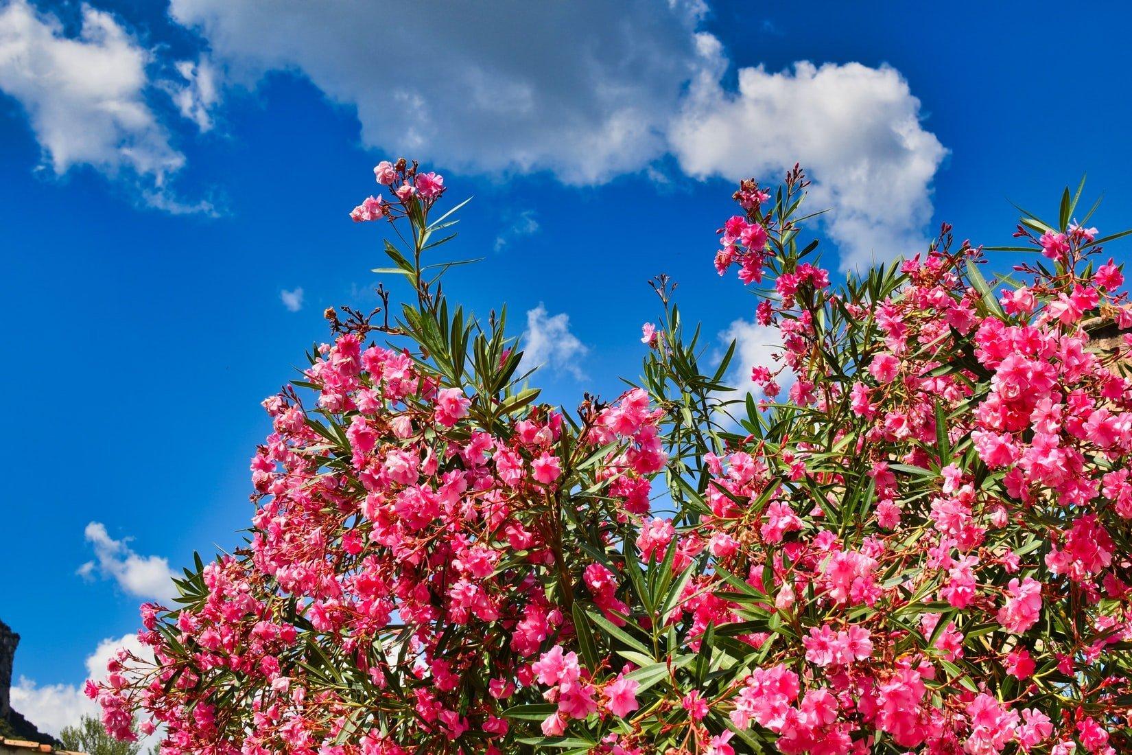oleander extract