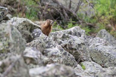 Snowmass wildlife marmot