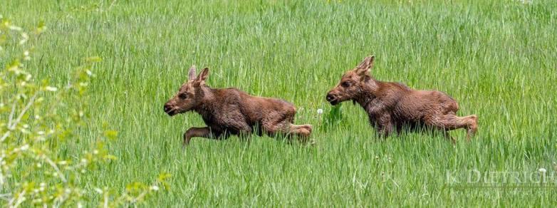 Steamboat Resort moose calves
