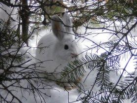 rabbit banff national park, wildlife banff national park