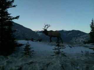 wildlife tours banff national park, elk banff national park