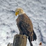 Fishing Eagle Demonstrates Patience