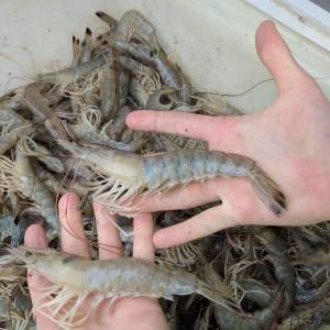 Eaters#charlestonfishing #shrimp #skifflife…