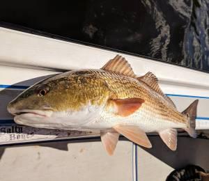 Big FAT redfish!