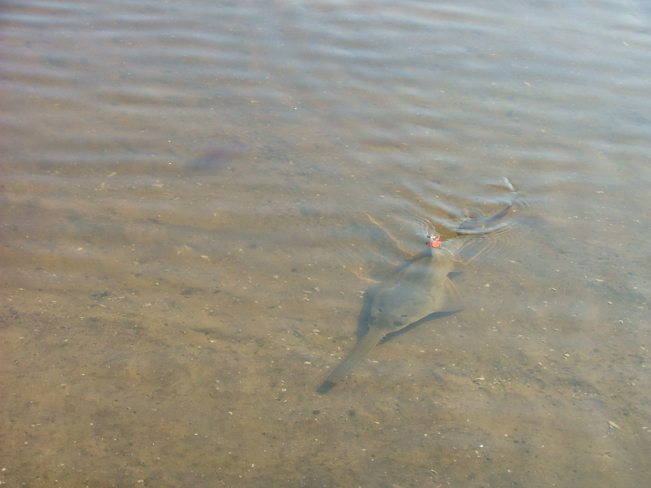 Sawfish Photo by Beau Yeiser