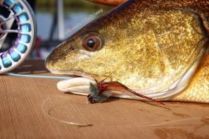 Nothing like catching slot redfish one 6wt! Fly courtesy of                     …