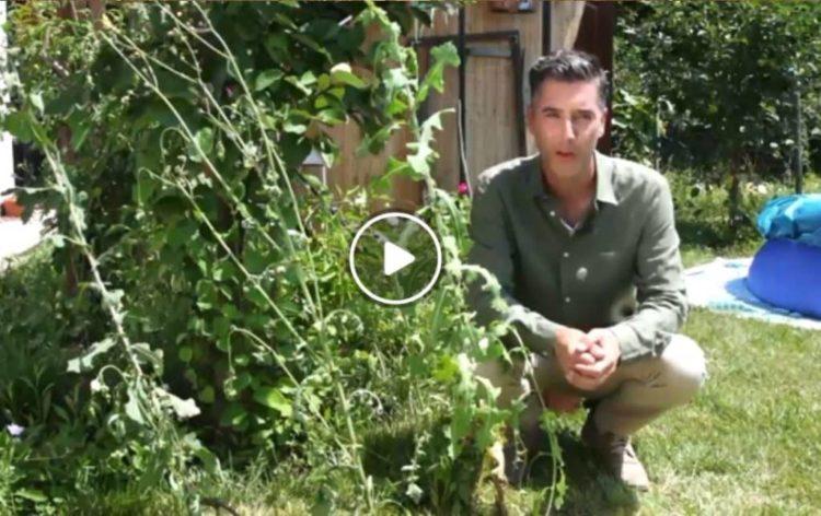 Wild Lettuce Video
