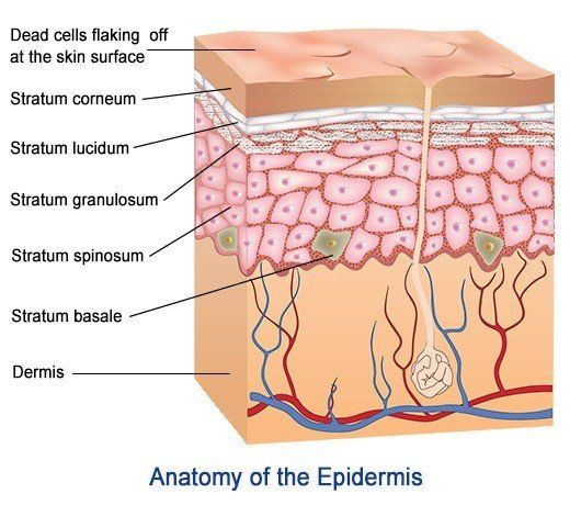 anatomie huidlagen, anatomie huid