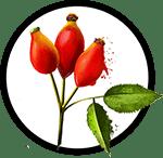 Organic Rosehip Seed Oil as Ingredient in Organic Body Lotion