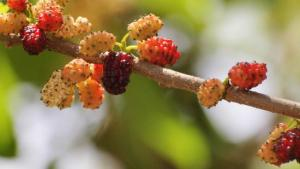 mulberry extract for skin whitening