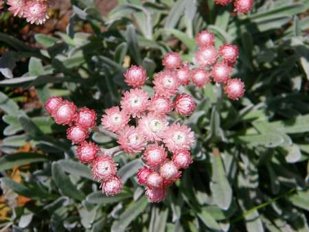 helichrysum oil for skin