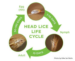Pediculosis - Head Lice