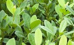 Yerba Mate Tea plant