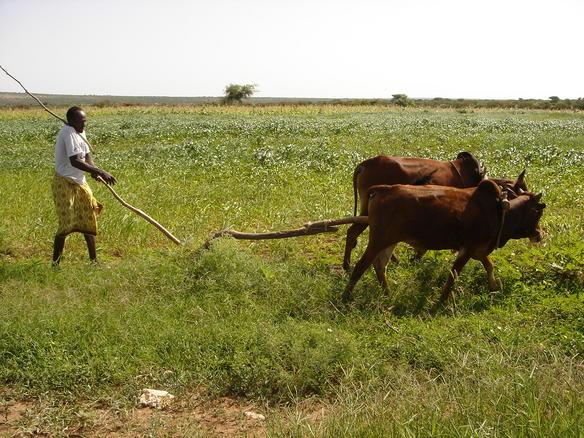 Krøtter i Somaliland