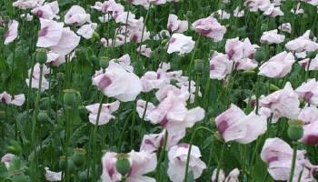 Opiumvalmuer