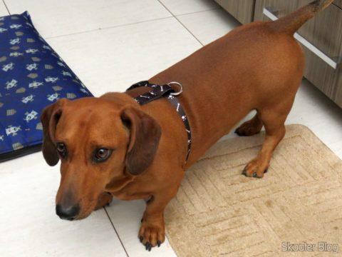 Meu cão vestindo o Peitoral Veneza Preto para Cães