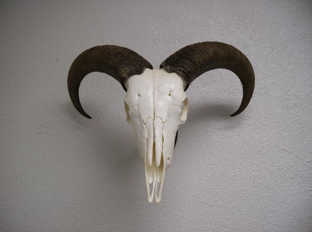 Trophy Gallery  Skull Hooker  European Skull Bracket System Skull Hanger Deer Skull Mount