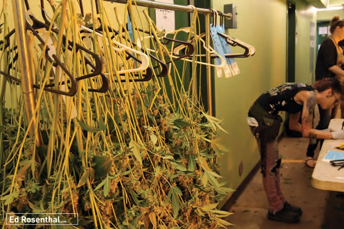 Cannabis plants are tagged on rack