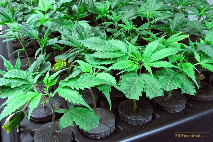 Heathy cannabis clones.