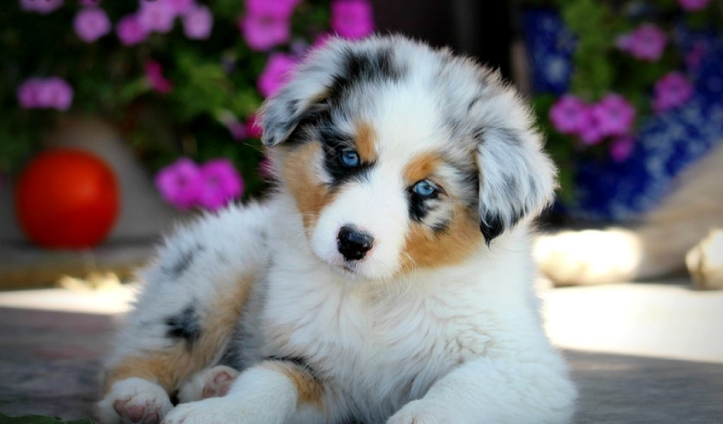 Australian Shepherd Puppies Available - Photos of Animals
