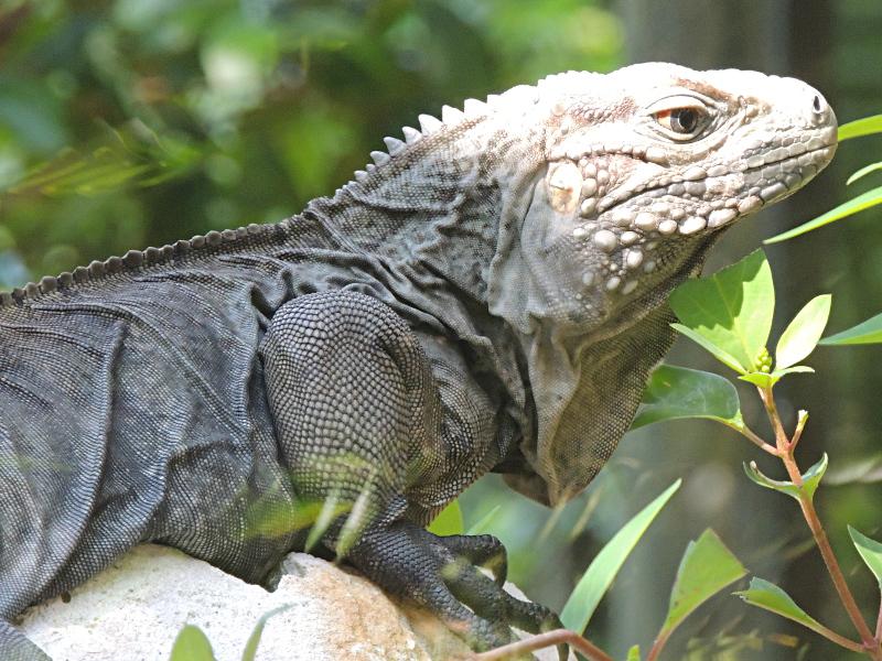 Iguana - Blue Iguana Info - Photo 2