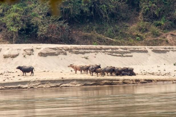 Animals Along the Mekong