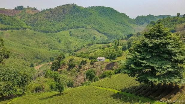 Mae Salong Tea Plantations
