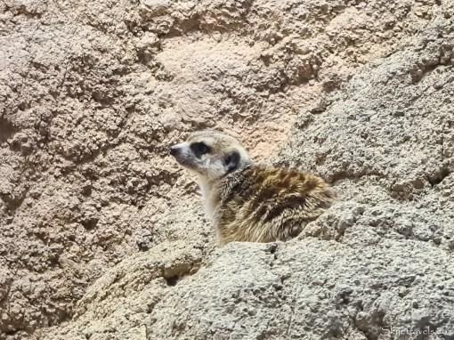 Meerkat at Seattle Zoo
