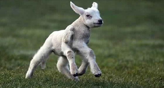 بالصور.. ولادة نادرة لحمل بخمسة أرجل ونصف