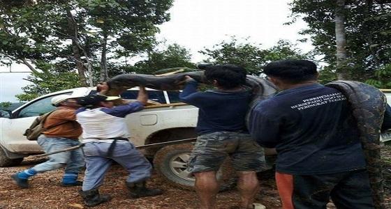 بالصور.. لحظة القبض على ثعبان عملاق