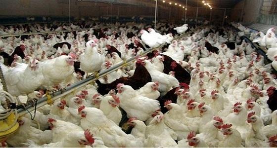 الغذاء والدواء تنفي ما تم تداوله عن استيراد دجاج مصعوق كهربائيا