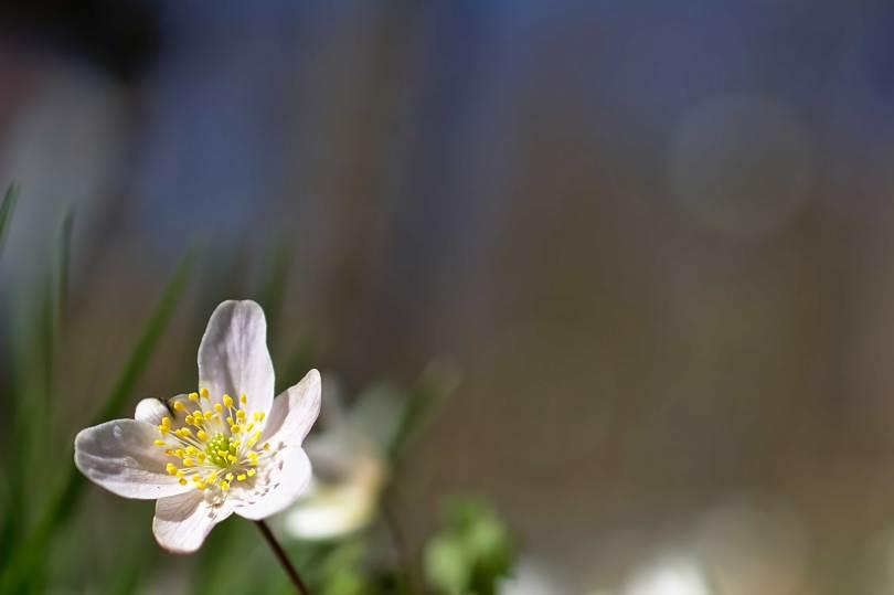 Vi skal ud og knække anemoner med nakken. Det er den tid. Anemonetid. Frihed. Spas i det fri. Det er ved at nærme sig; foråret.