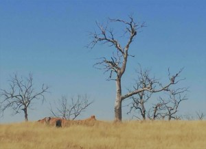 Drought Riddled Australian Trees