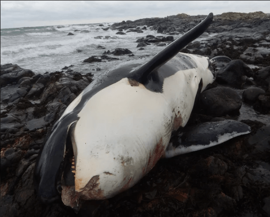Dead orca due to pollution