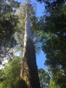 Mountain ash - king of eucalyptus