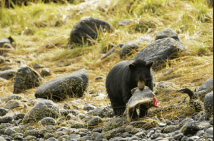 Black bear cub feasting on salmon