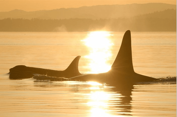 Orcas at sunrise