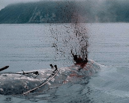 Whaling - Iceland