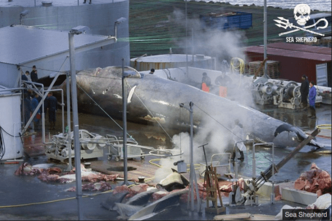 Blue Whale slaughtered - Iceland Whaling