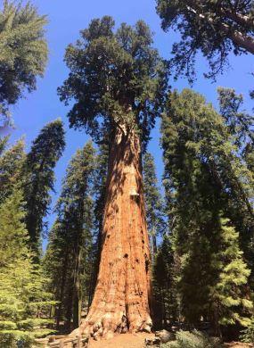 Trees - General Sherman Redwood