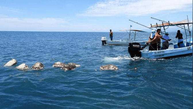 313 dead olive ridley sea turtles