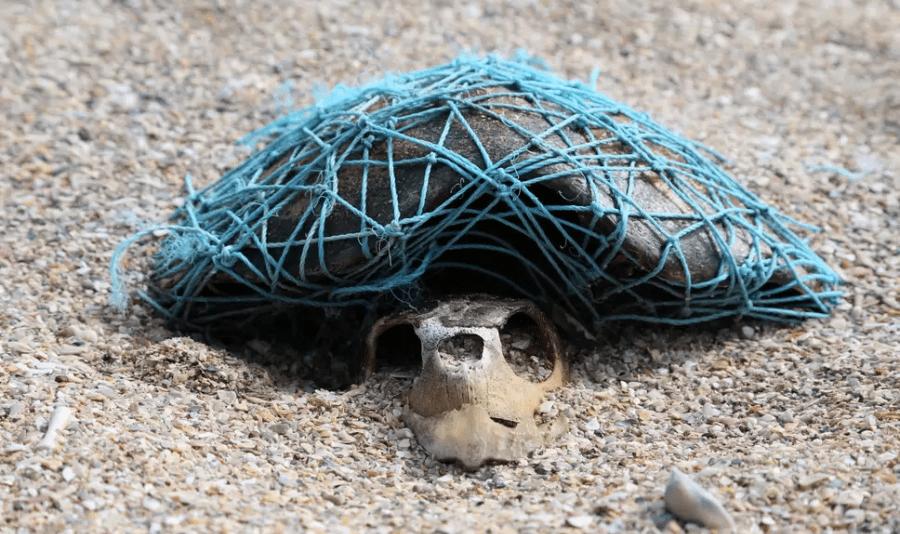 Sea Turtles dead in ghost net