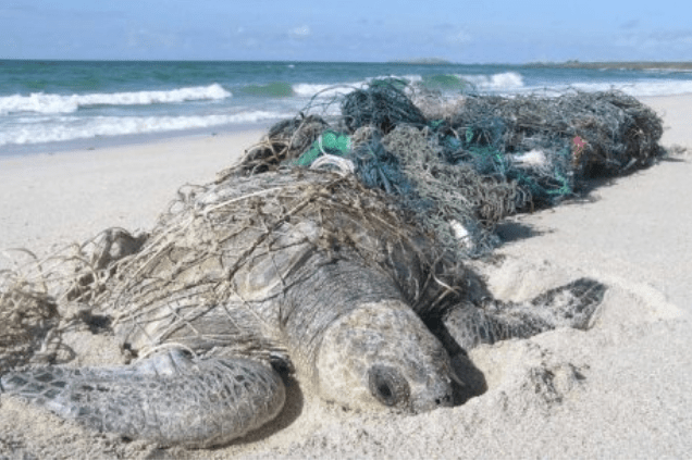 Sea Turtles caught in ghost nets