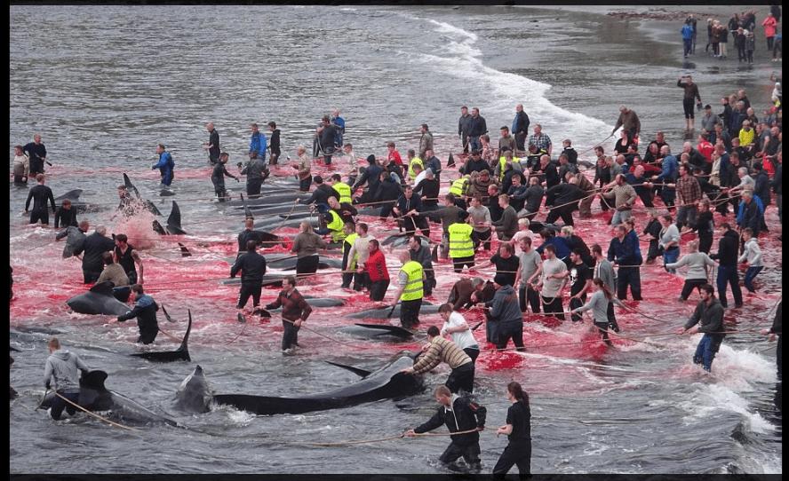 Faroe Islands Whale Bloodbath