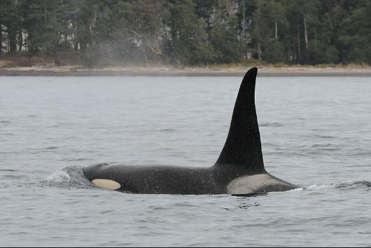 Salish Sea Orcas - Crewser