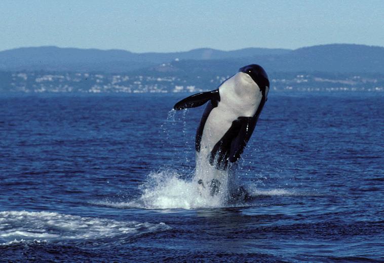 Salish Sea Orcas - Granny Breaching