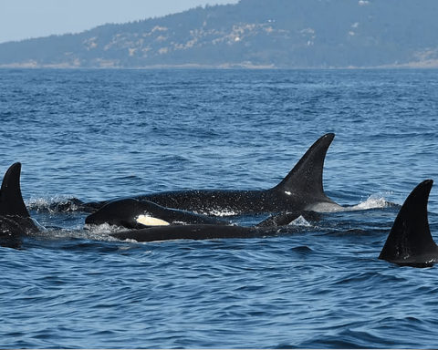 Salish Sea Orcas