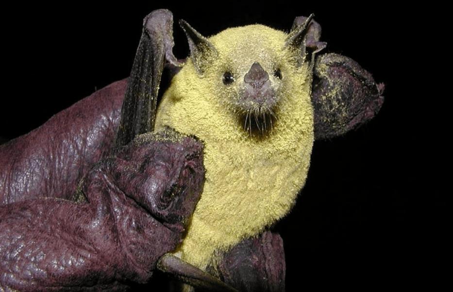 Bats - long-nosed bat